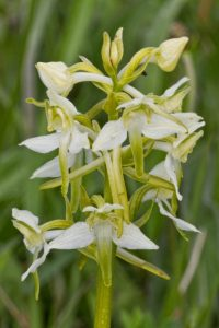BUTTERFLY ORCHID 2 (1)