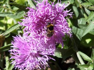 A bee visits the Ragged Robin