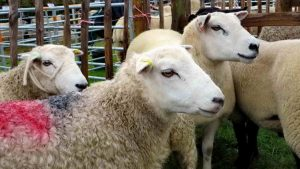 Close-up of Whiteface Dartmoor sheep.