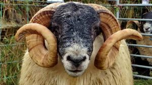 An entry in the Best Local Ram Class.
