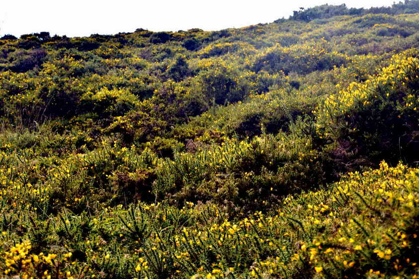 Gorse before clearance. Photo: Adam Sparkes