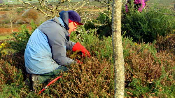 Tackling gorse with loppers