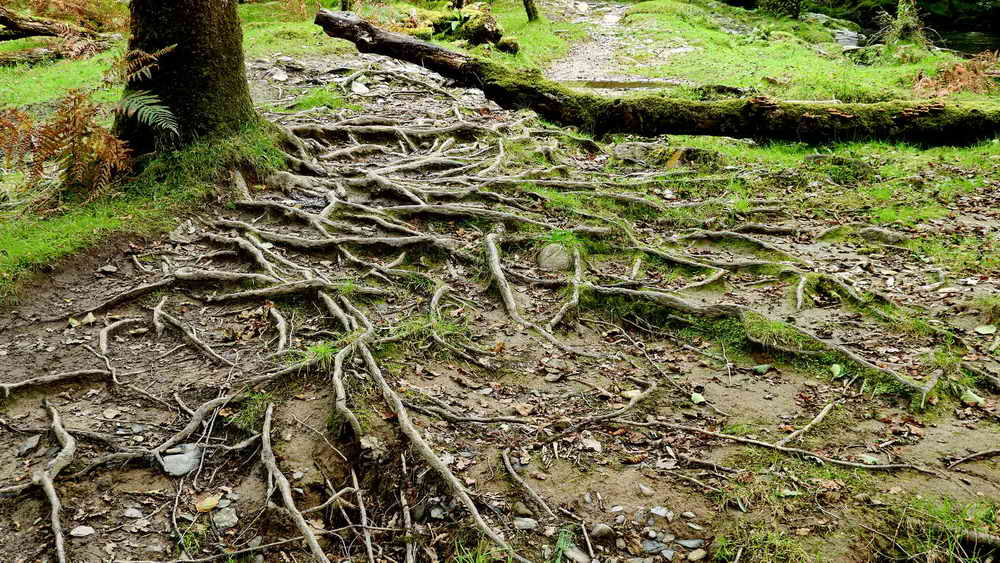 Exposed beech tree roots