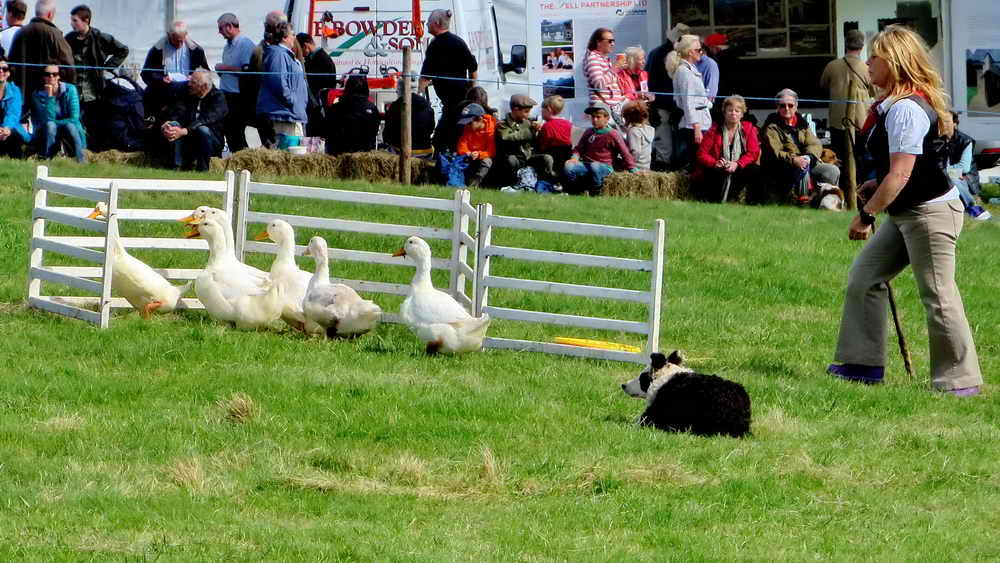 Aylesbury ducks, being penned by a sheepdog