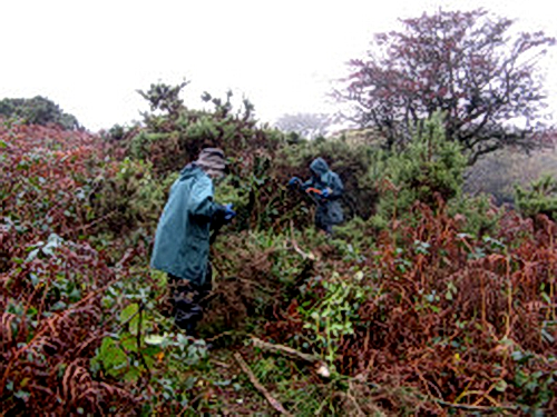 Cutting the gorse