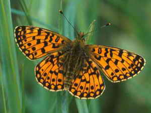 Small Pearl-bordered 300px-Frit-JimAsher