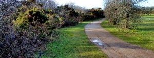 Photo of golf course gorse before cutting