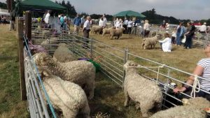 Sheep ready for judging.