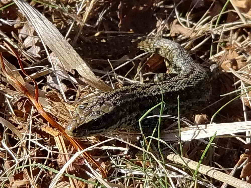 Lizard, one of four seen. Photo: Rachel Watson