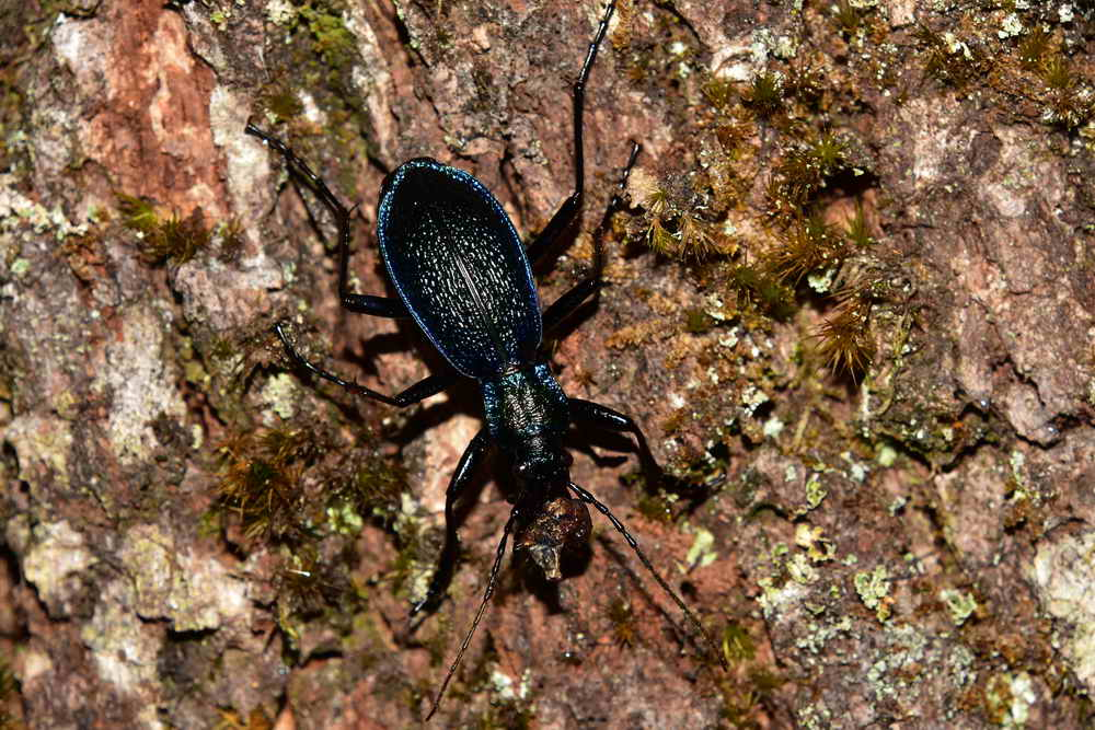 Blue ground beetle. Photo: Adam Sparkes