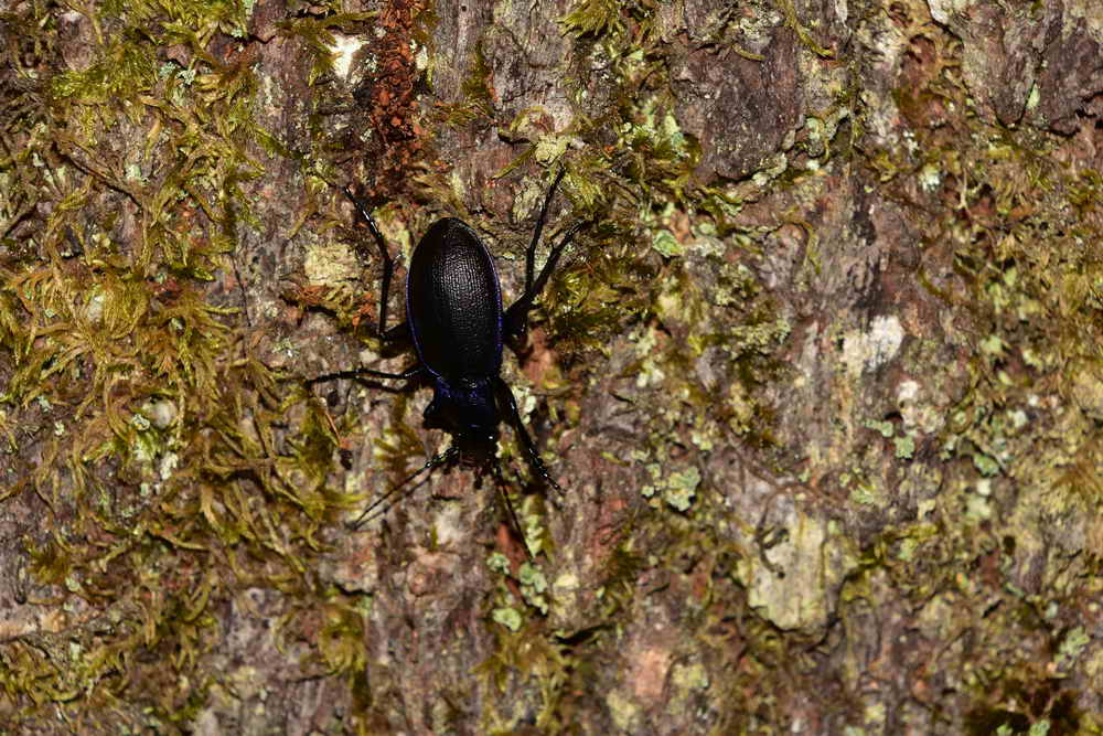Violet ground beetle. Photo: Adam Sparkes