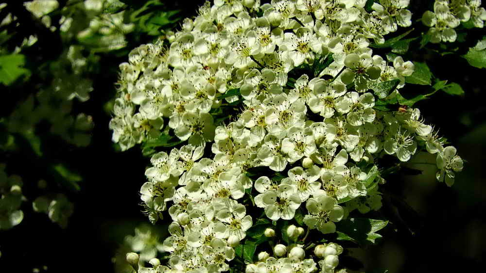 May blossom (hawthorn)