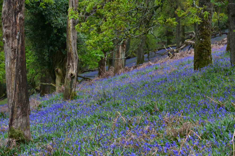 Bluebells in the wood. Photo: Adam Sparkes