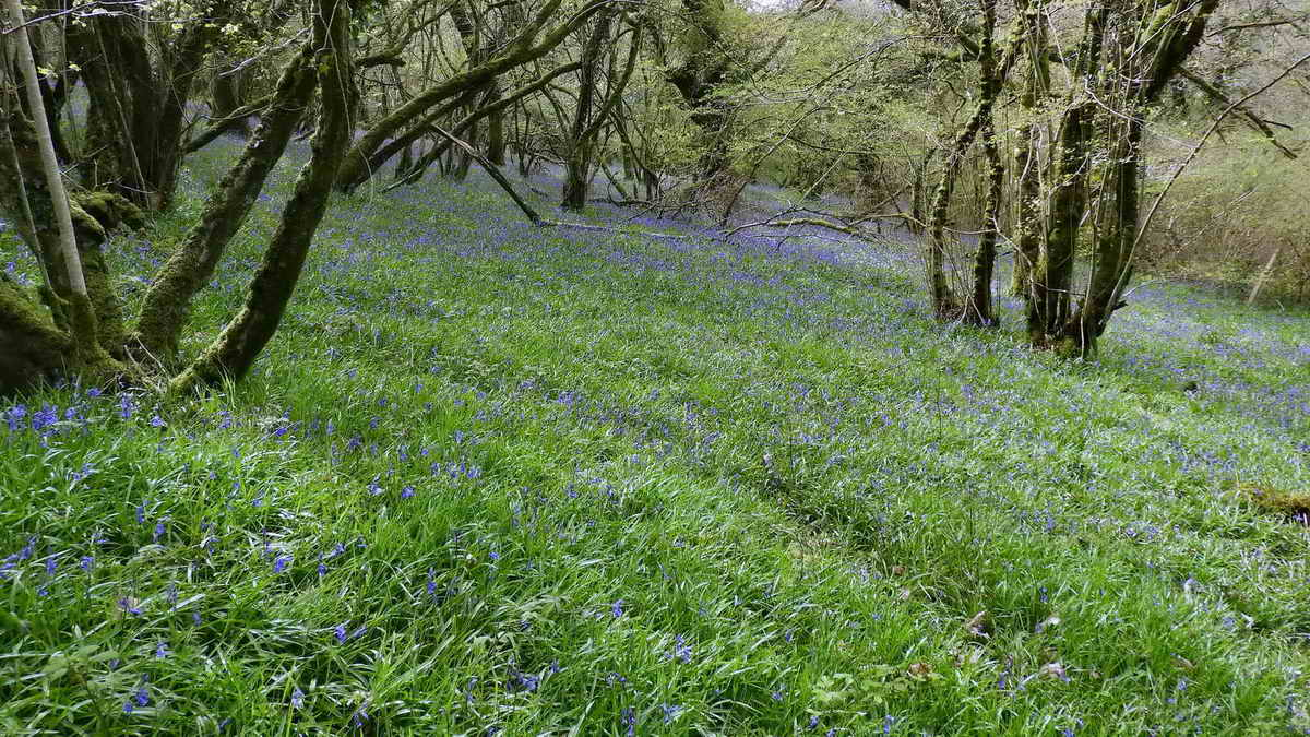 Bluebells in Meldon Woods