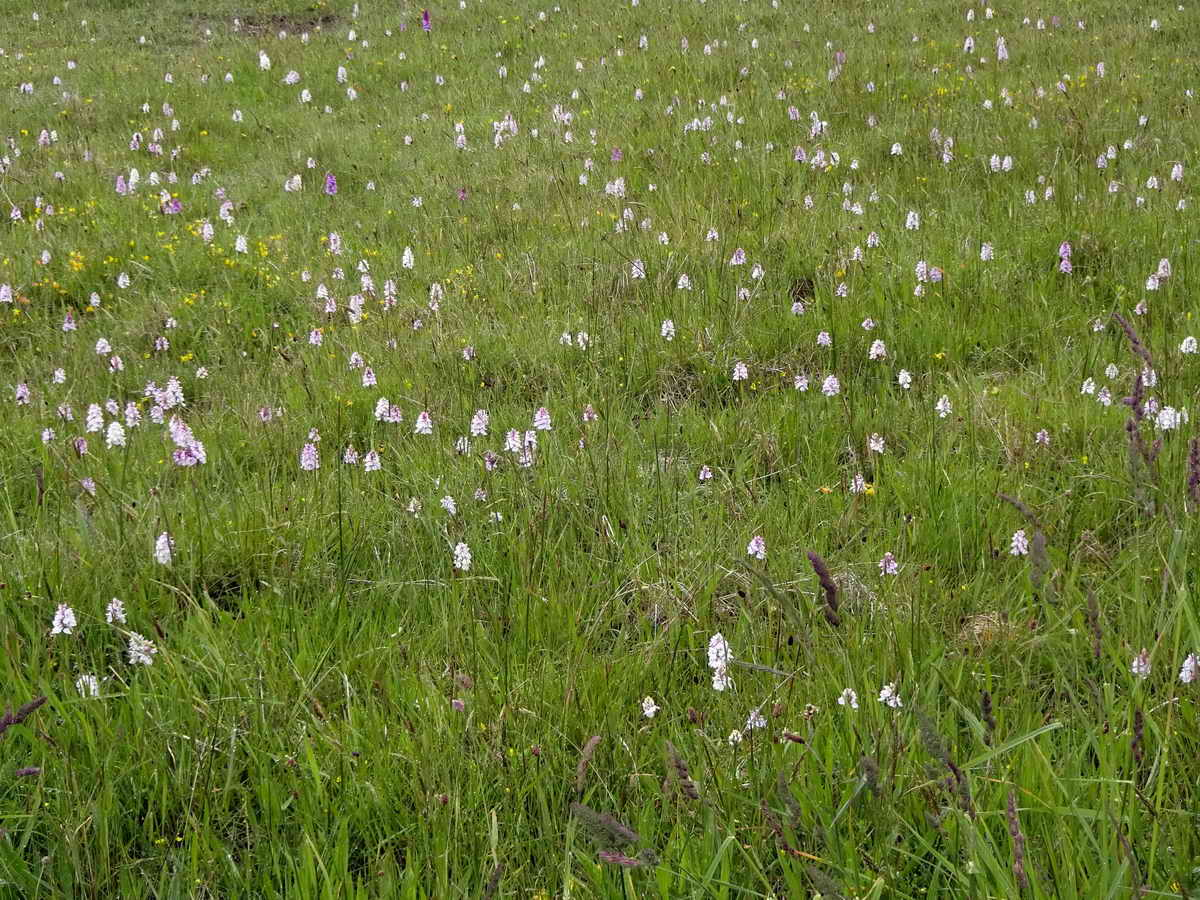 Whereas other species (here Heath Spotted-orchids in Pudsham Meadow) present a different challenge - easy to find but not so straightforward to count!