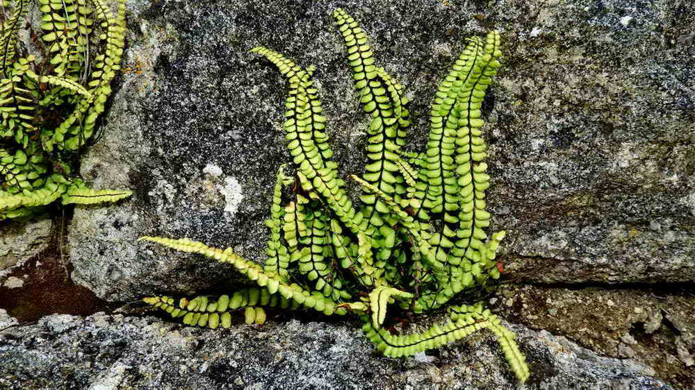 Maidenhair spleenwort on old mortar