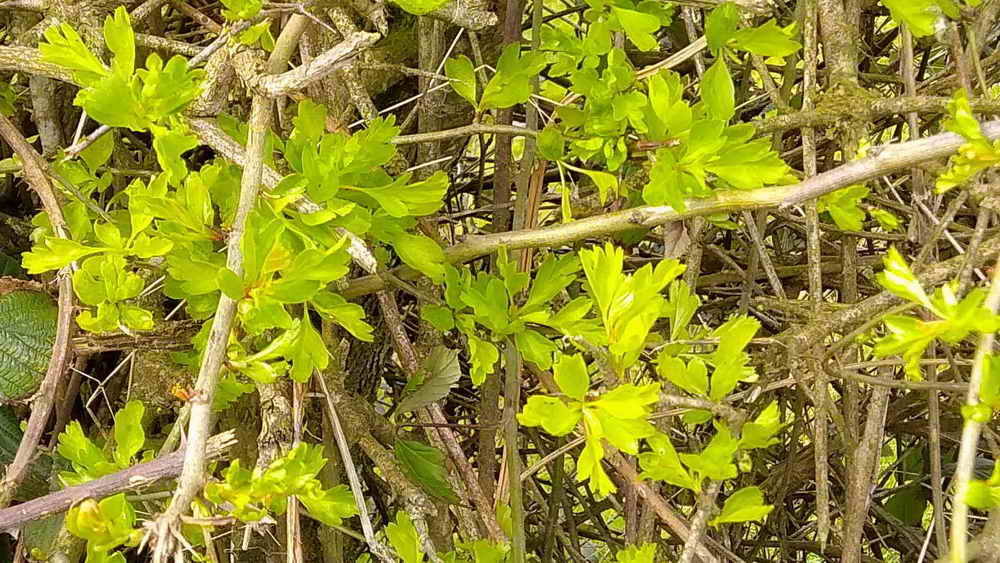 Hawthorn - with very young leaves. Photo: Val Barns